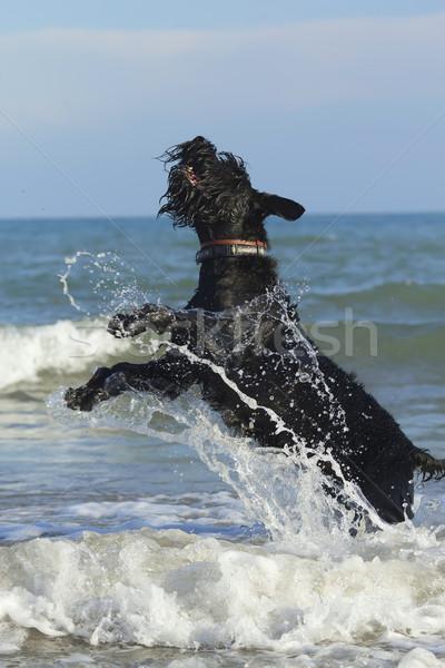 Grande negro schnauzer perro agua océano Foto stock © frank11