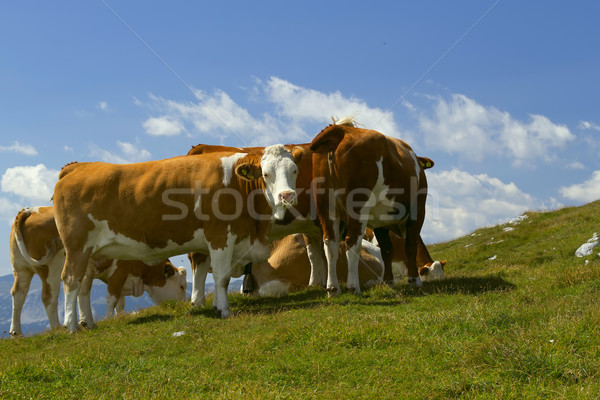 The group of cows grazing on mountain meadow  Stock photo © frank11