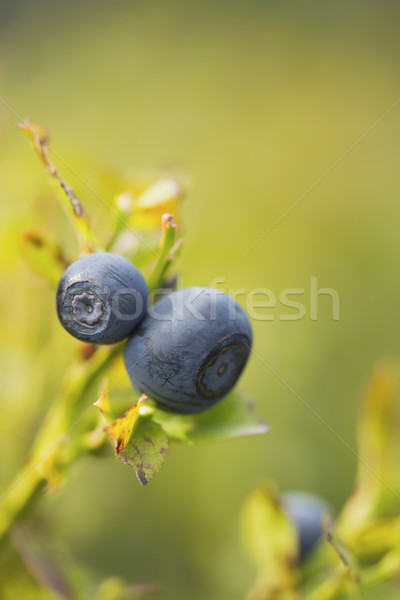 A pair of blueberries on the bush. Vertically. Stock photo © frank11