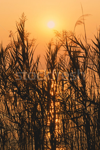 Reed in sunset  Stock photo © frank11