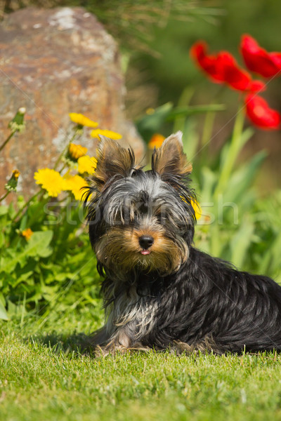 Portrait of Yorkshire Terrier. Vertically.  Stock photo © frank11