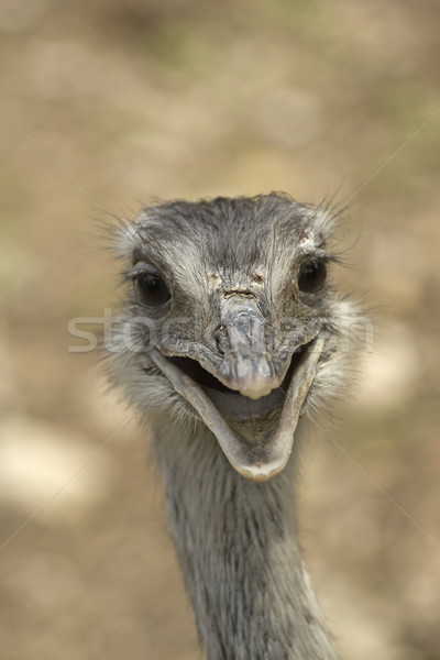 Sonriendo avestruz frente vista cara Foto stock © frank11