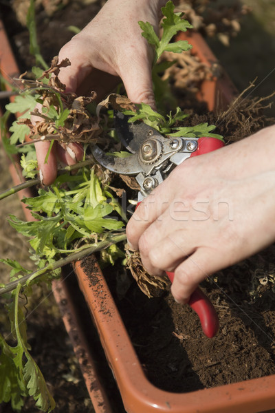 Treatment plants in self watering pot. Stock photo © frank11
