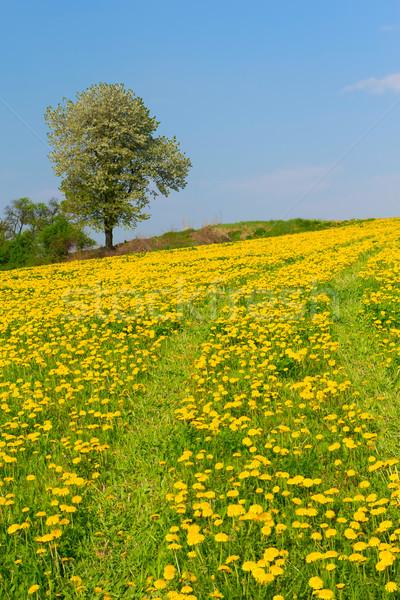 Diente de león pradera solo árbol primavera flor Foto stock © frank11