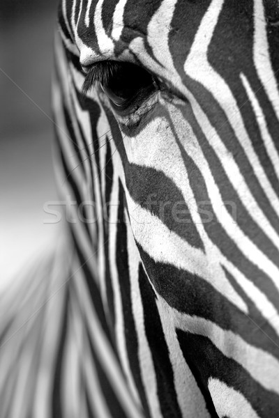 Monochromatic zebra skin texture  Stock photo © frank11