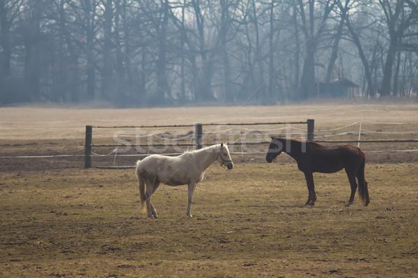 белый коричневый лошади пастбище рано весны Сток-фото © frank11