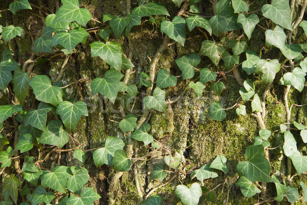 Closeup of an ivy leaves on a tree trunk Stock photo © frank11
