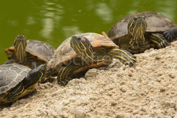 красивой черепахи семьи из воды песок Сток-фото © frank11