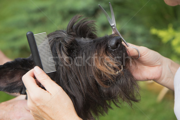 Treatment dog's head by crest Stock photo © frank11