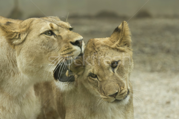 Lioness with a young lion  Stock photo © frank11