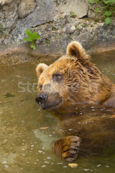 Brown bear taking a bath in the lake.  Stock photo © frank11