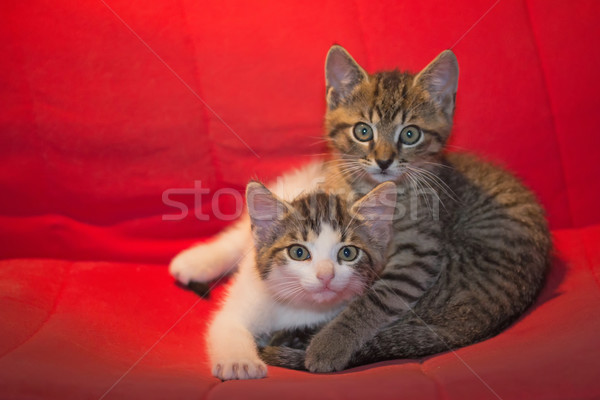 Gato hermanos gatitos sesión rojo silla Foto stock © frank11