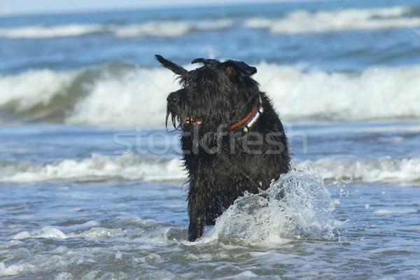 Big Black Schnauzer Dog standing in the ocean. Stock photo © frank11