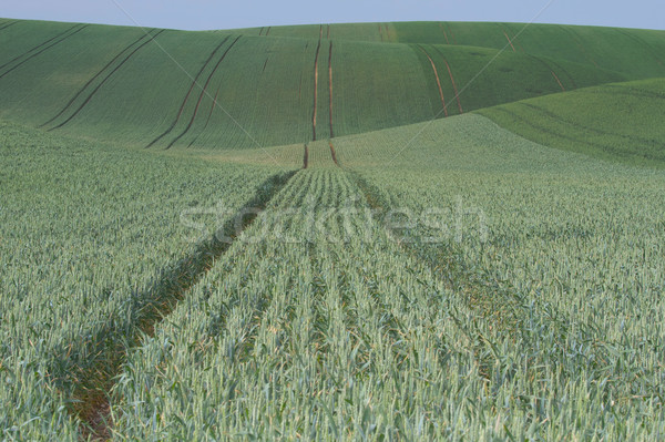 Undultaing field with green grain Stock photo © frank11