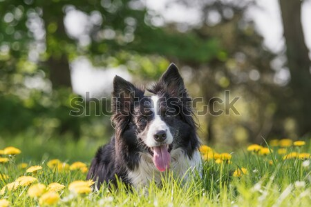 Stock photo: Alsatian training