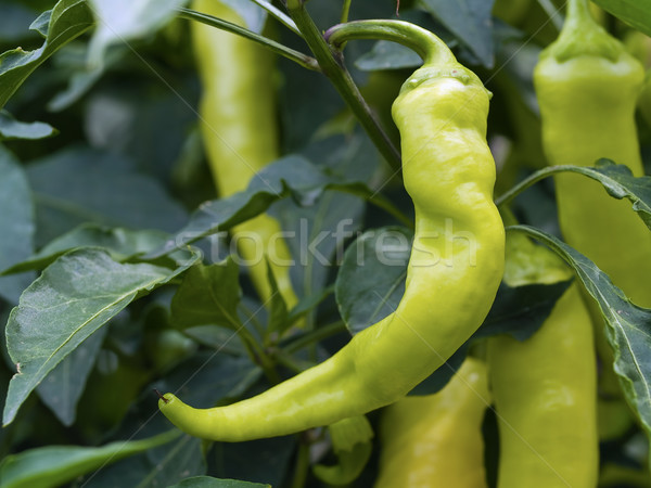 Green Peppers on the Plant Stock photo © Frankljr