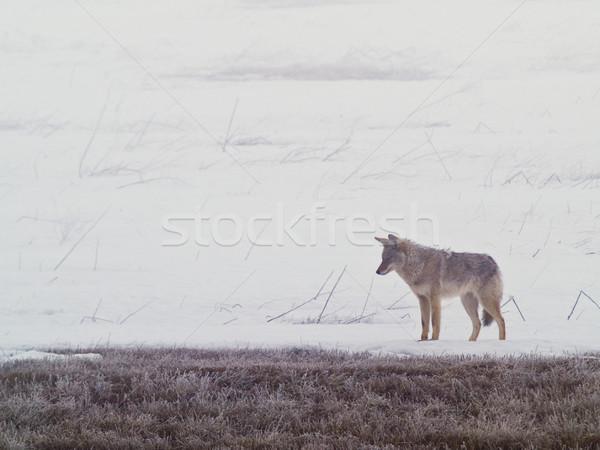 A coyote walks on the frozen, snowy field Stock photo © Frankljr