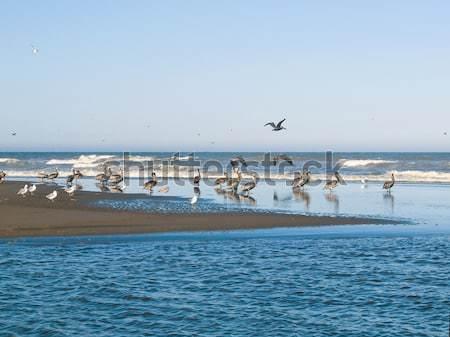 A Flock of Little Brown Seabirds Stock photo © Frankljr