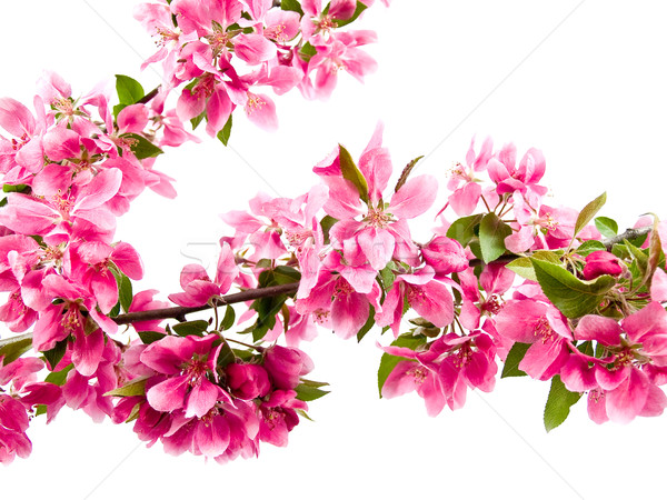 Bright Pink Clusters of Tree Blossoms Stock photo © Frankljr