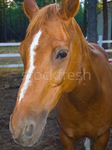 Paard portret avond uur wolken voorjaar Stockfoto © Frankljr