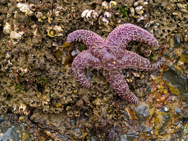 Starfish Attached to Rocks Stock photo © Frankljr