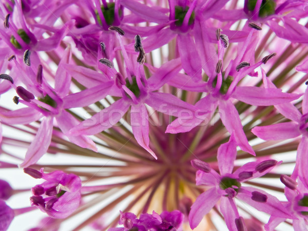 Allium Flower in Bloom Stock photo © Frankljr