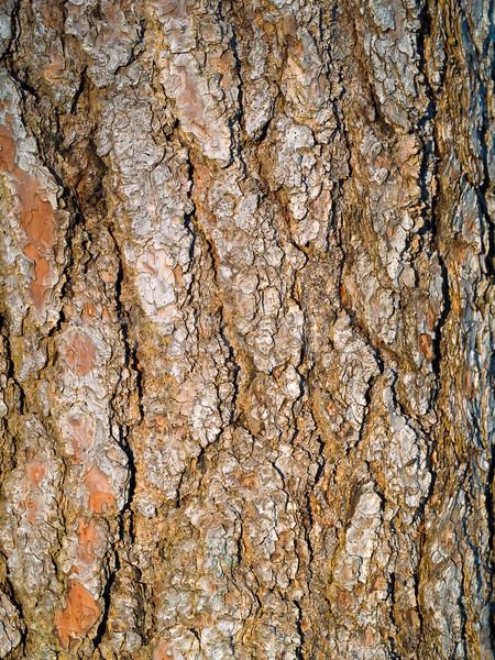 Evergreen Tree Bark Background Stock photo © Frankljr