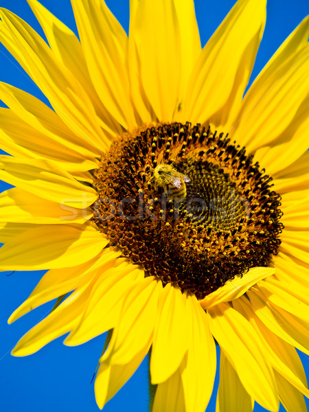 Stock photo: Honeybee Covered in Pollen in a Sunflower