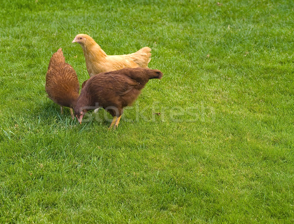 Free Range Chickens Stock photo © Frankljr
