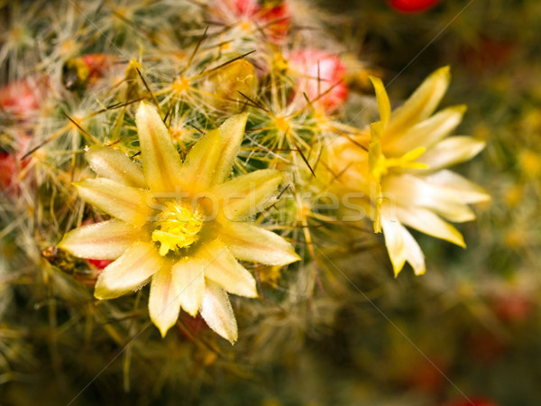 Cactus Flower Macro with Vivid Texture and Color; Great for Desert Backgrounds Stock photo © Frankljr