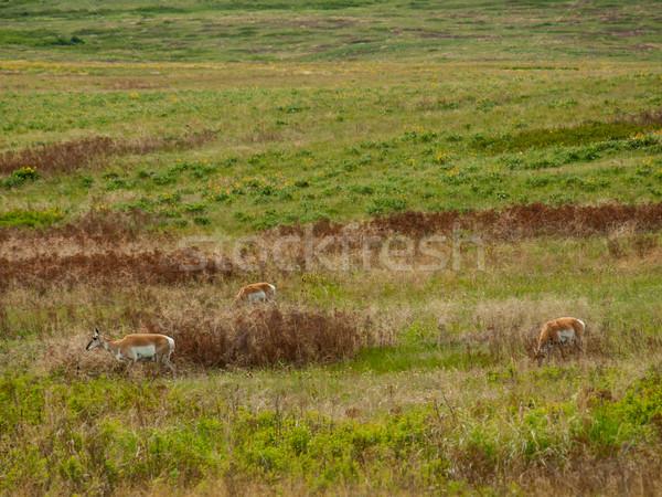 Alan bizon Montana ABD çim Stok fotoğraf © Frankljr