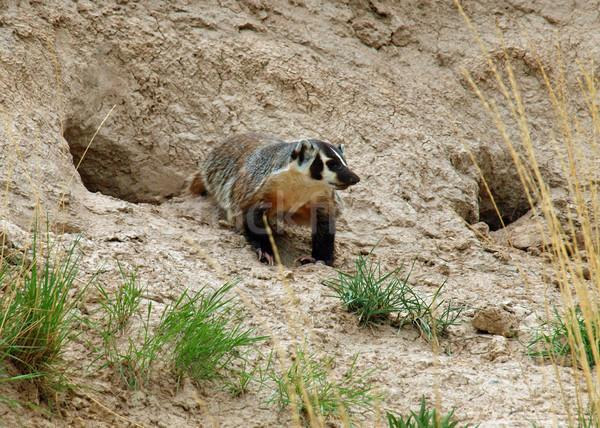 American Badger Stock photo © Frankljr