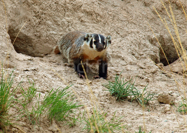 American Badger Stock photo © Frankljr