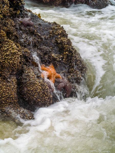 Rozgwiazda dołączone skał surfowania plaży wody Zdjęcia stock © Frankljr