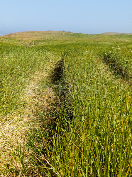 Green and Yellow Beach Grass on a Path to the Ocean on a Clear and Sunny Day Stock photo © Frankljr