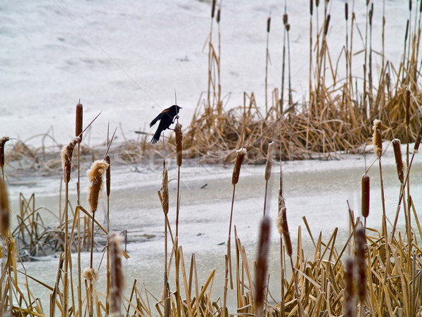 Red Winged Blackbird in a Frozen Marsh Area on an Overcast Day Stock photo © Frankljr