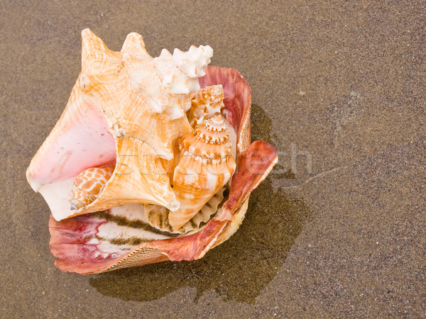 Scallop and Conch Shells on a Wet Sandy Beach Stock photo © Frankljr