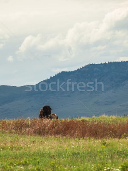 Large American Bison Stock photo © Frankljr