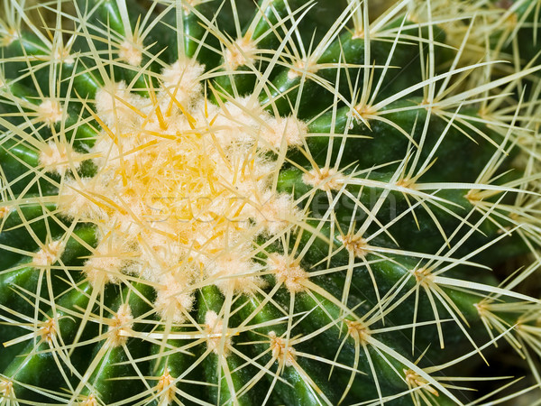 Cactus Macros with Texture Suitable for Desert Backgrounds Stock photo © Frankljr