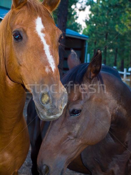 Two Horse Portraits Stock photo © Frankljr