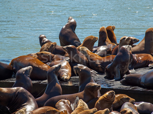 The Sea Lions of Pier 39 Stock photo © Frankljr
