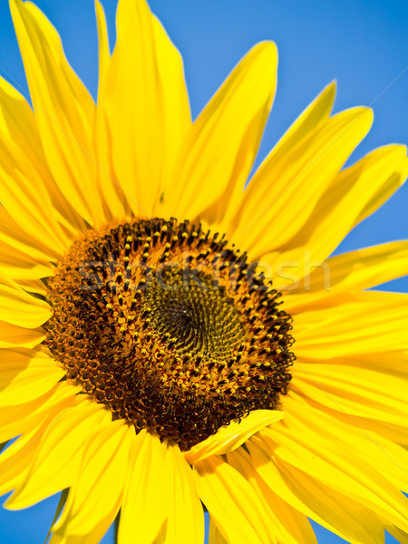 Amarelo girassol azul sem nuvens céu Foto stock © Frankljr