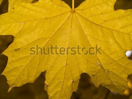 Giallo impiccagione alberi autunno foglia Foto d'archivio © Frankljr