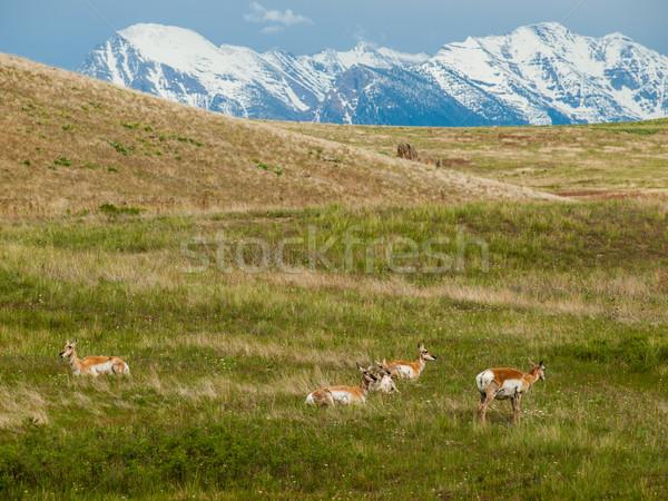 Campo bisão alcance Montana EUA grama Foto stock © Frankljr