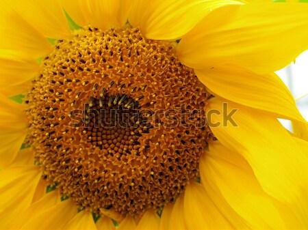 Stock photo: Yellow Sunflower Closeup