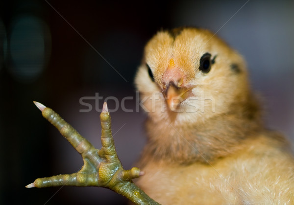 Weinig Geel oranje chick portret Stockfoto © Frankljr