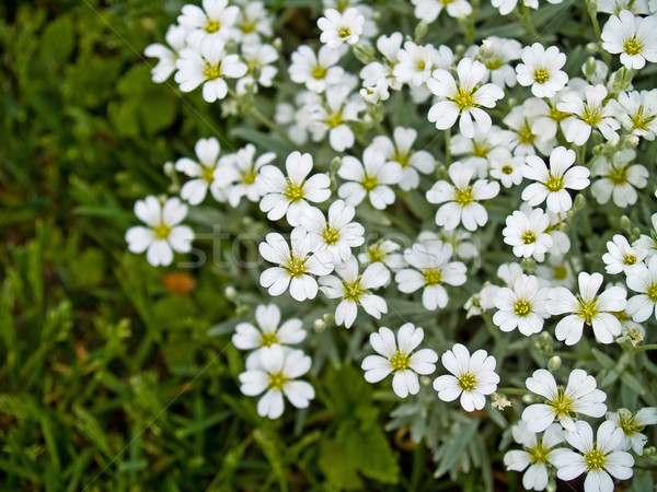 Pretty White Flowers Blooming Stock photo © Frankljr