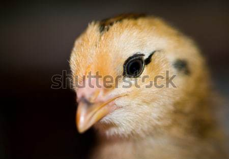 Little yellow and orange fuzzy chick Stock photo © Frankljr