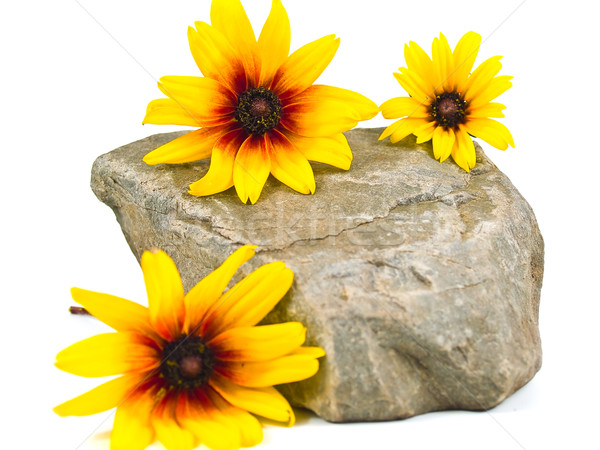 Stock photo: Yellow Daisies on Gray Stones Isolated on White