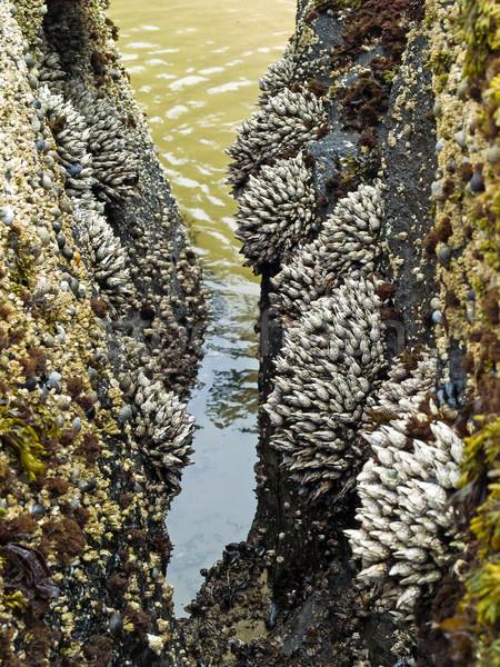 Barnacles on Tidepool Rocks Stock photo © Frankljr